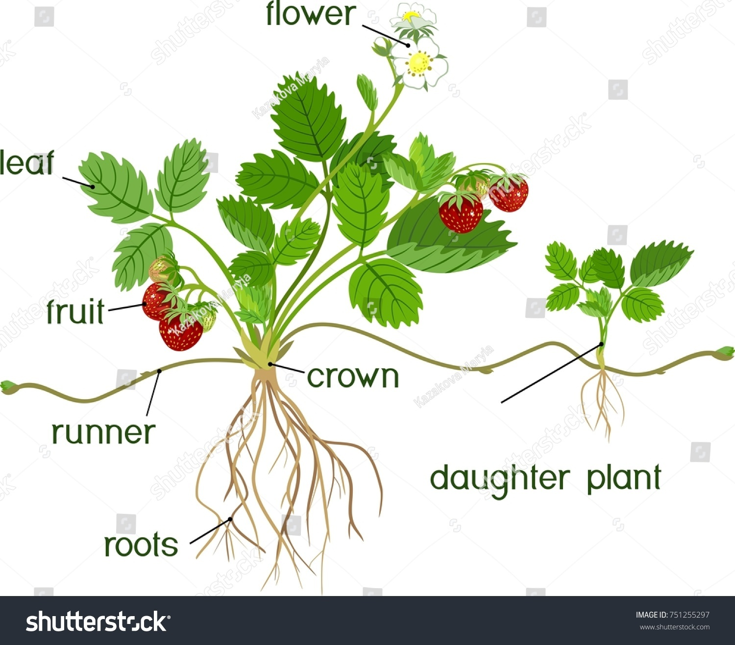 strawberry fruit diagram chevy starter wiring hei parts of a plant pictures to pin on pinterest