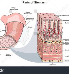 stomach tissue diagram wiring diagram third level adrenal gland diagram parts stomach infographic diagram including structure [ 1500 x 970 Pixel ]