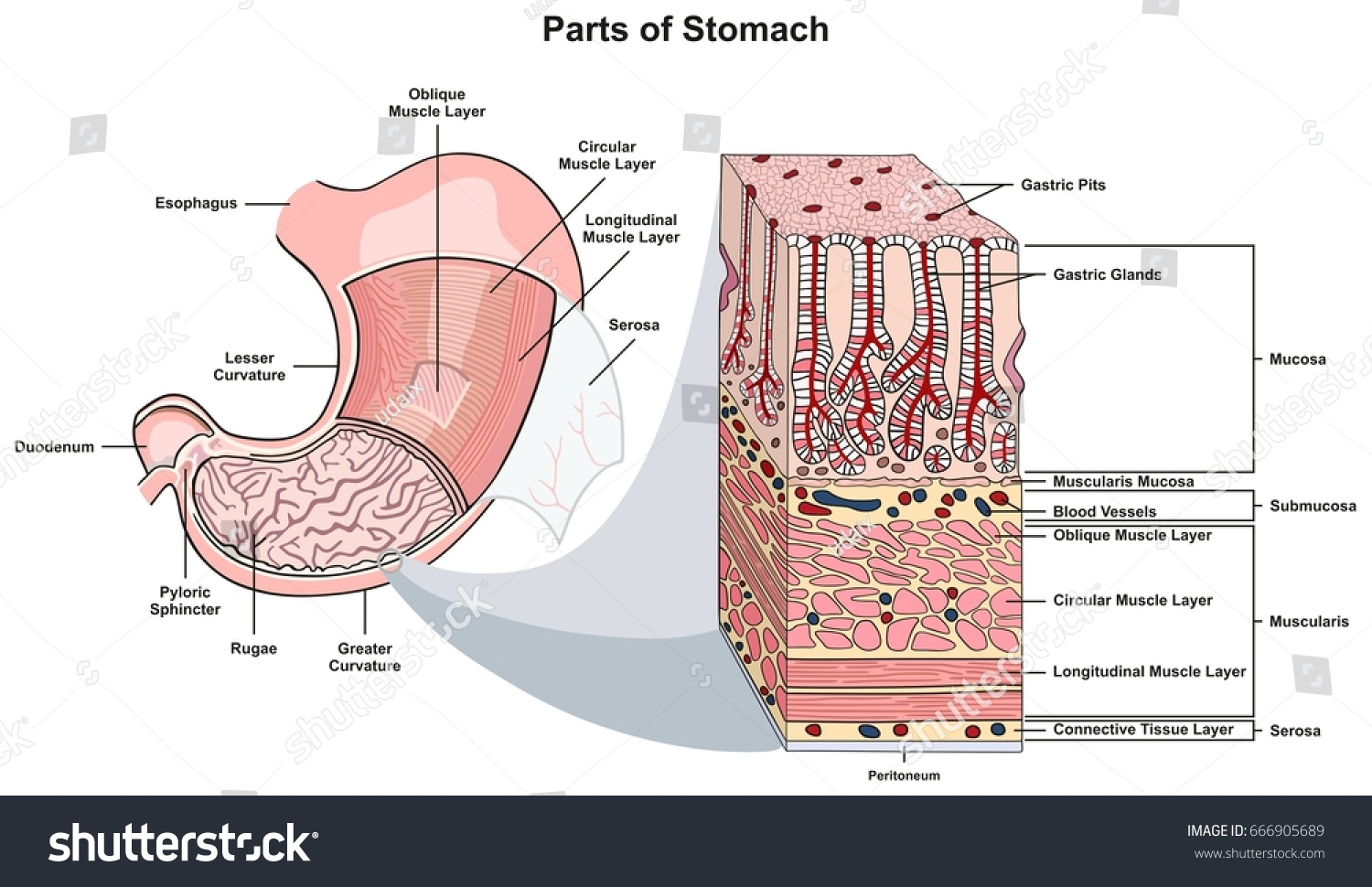 hight resolution of stomach tissue diagram wiring diagram third level adrenal gland diagram parts stomach infographic diagram including structure