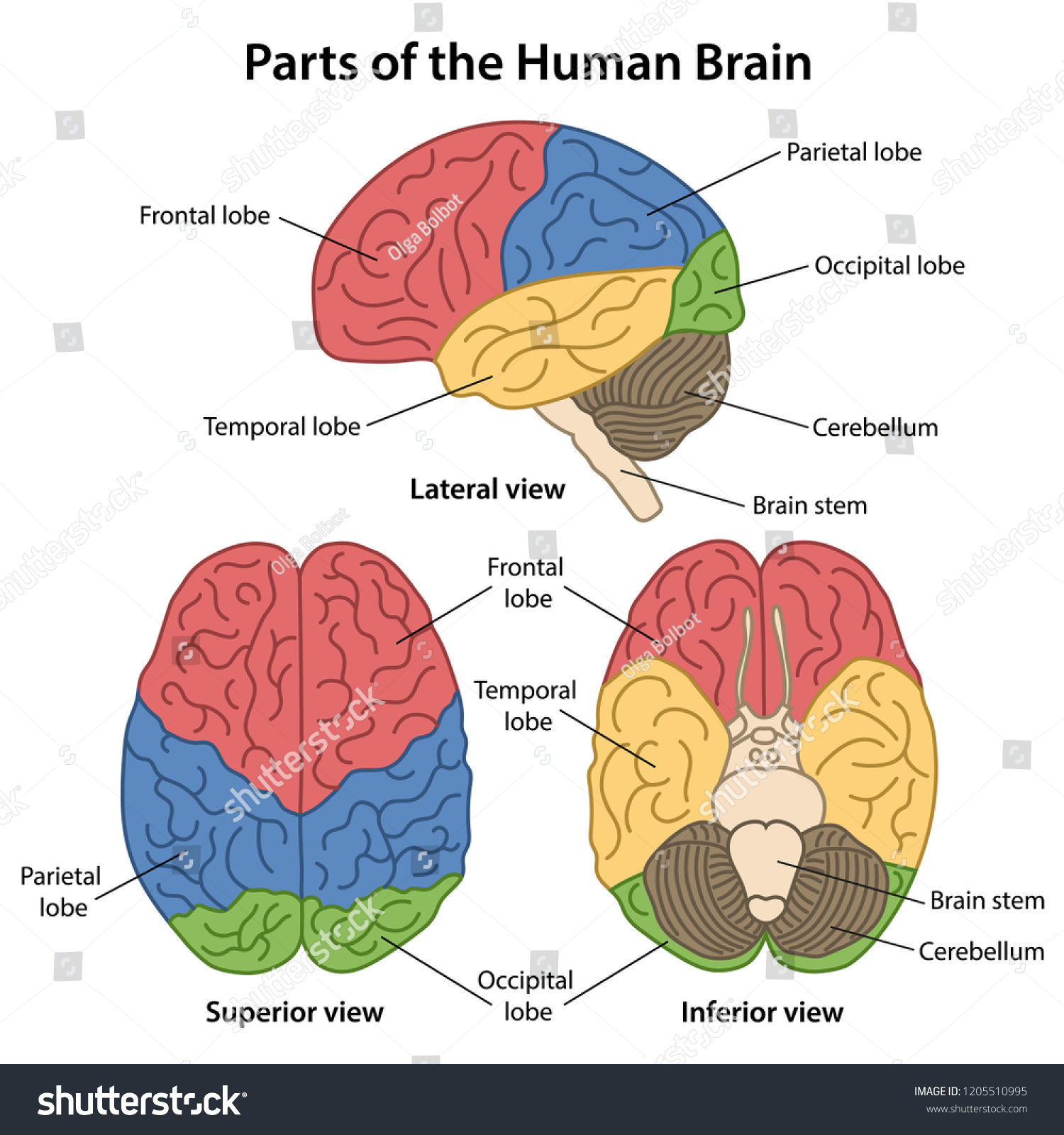 hight resolution of parts of the human brain with labeled lateral superior and inferior views of cerebrum