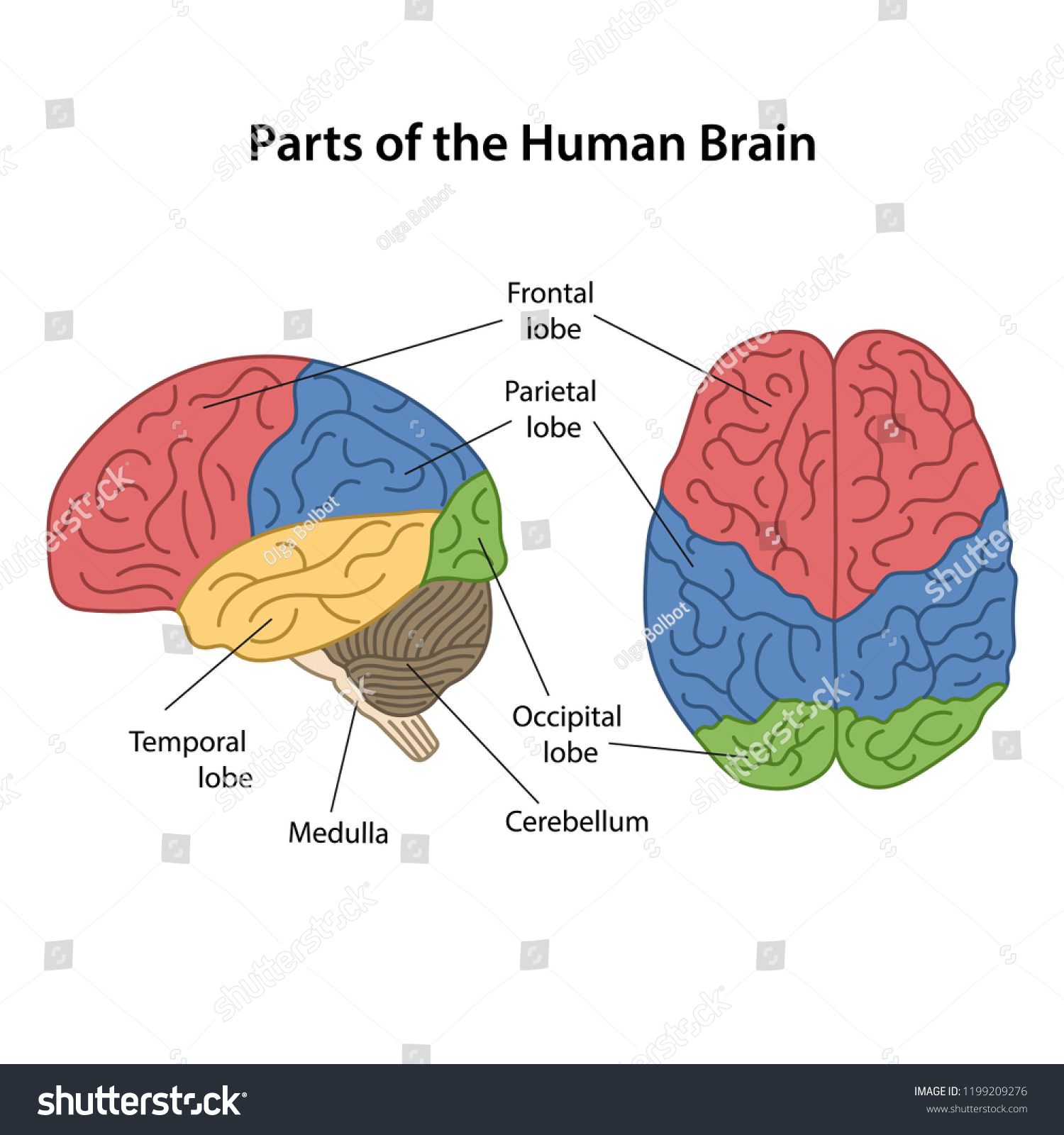 hight resolution of parts of the human brain with main parts labeled lateral view and from above view