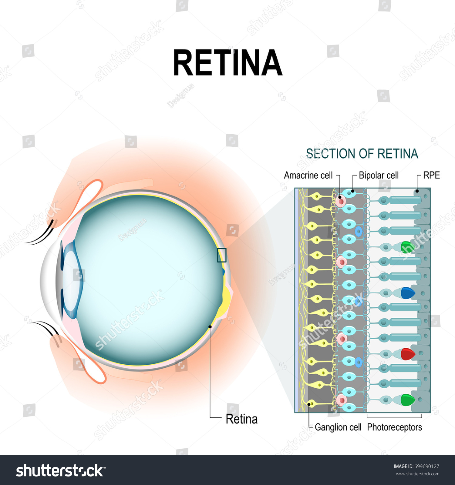 hight resolution of photoreceptor retinal cells rod and cone cell amacrine ganglion bipolar and