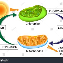 Chloroplast Diagram With Labels Western Unimount Relief Valve Mitochondria Circuit