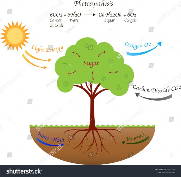 Photosynthesis Diagram Illustration Stock Vector (Royalty Free) 1304985583