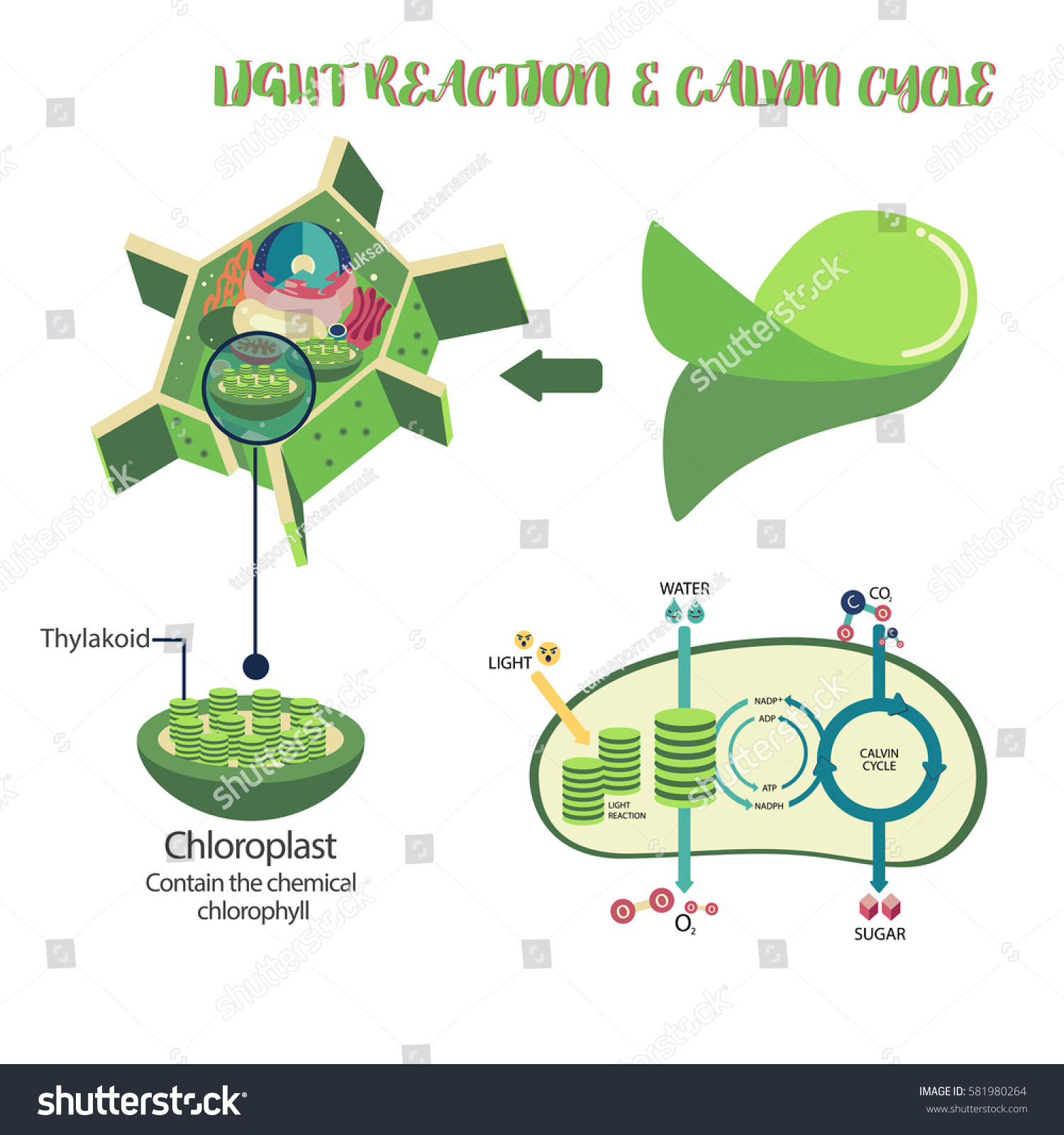 hight resolution of photosynthesis plant cell diagram illustration vector design