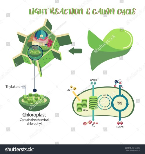 small resolution of photosynthesis plant cell diagram illustration vector design
