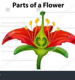 poster showing parts lily flower stock vector royalty free rh shutterstock com diagram of a listener worksheet diagram of a livewell [ 1500 x 874 Pixel ]