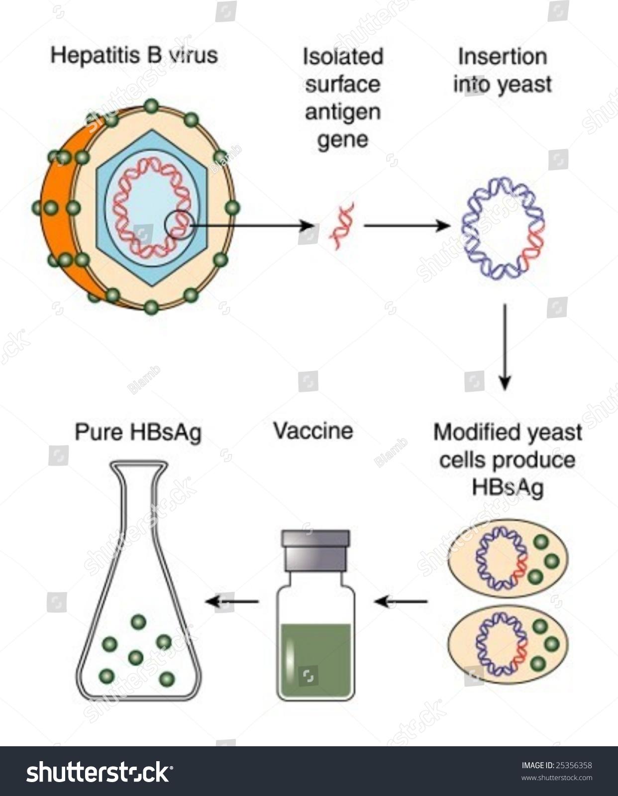 Production Of Hepatitis B Vaccine