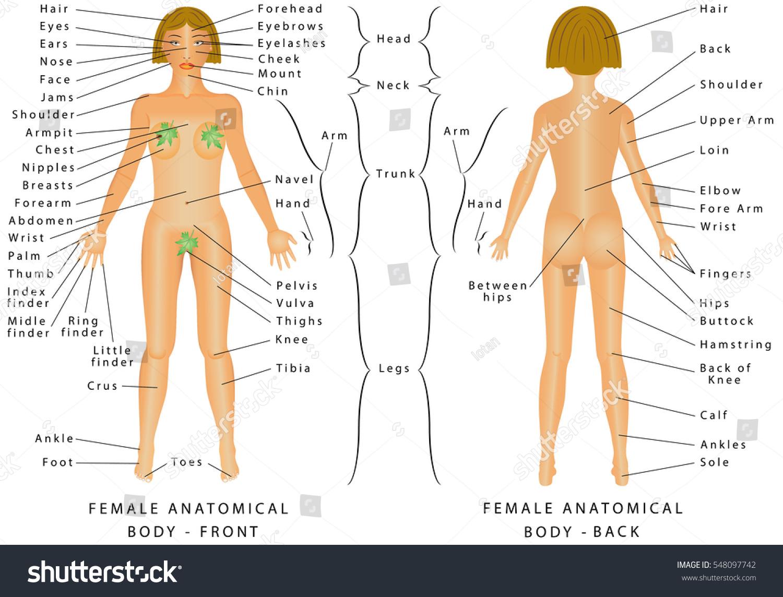 Regions Female Body Female Body Front Stock Vector