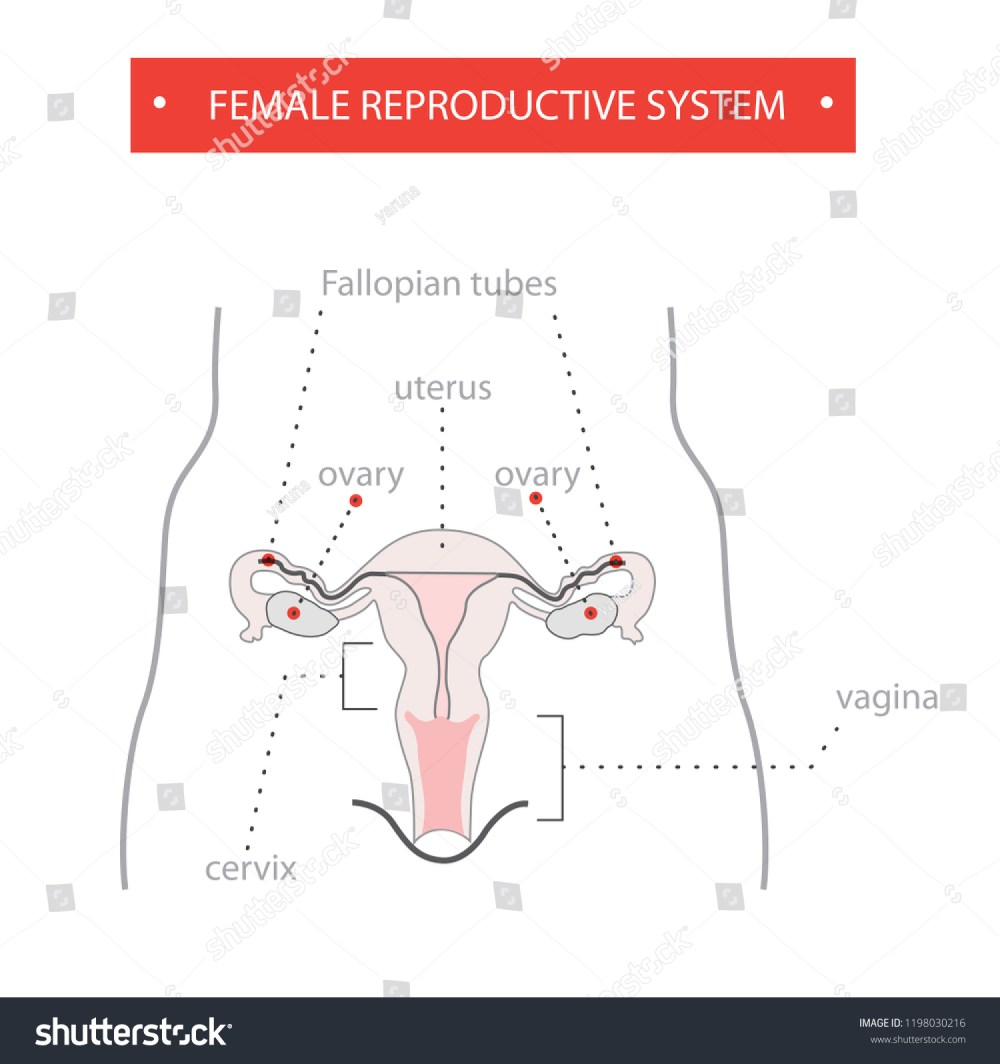medium resolution of reproductive system female