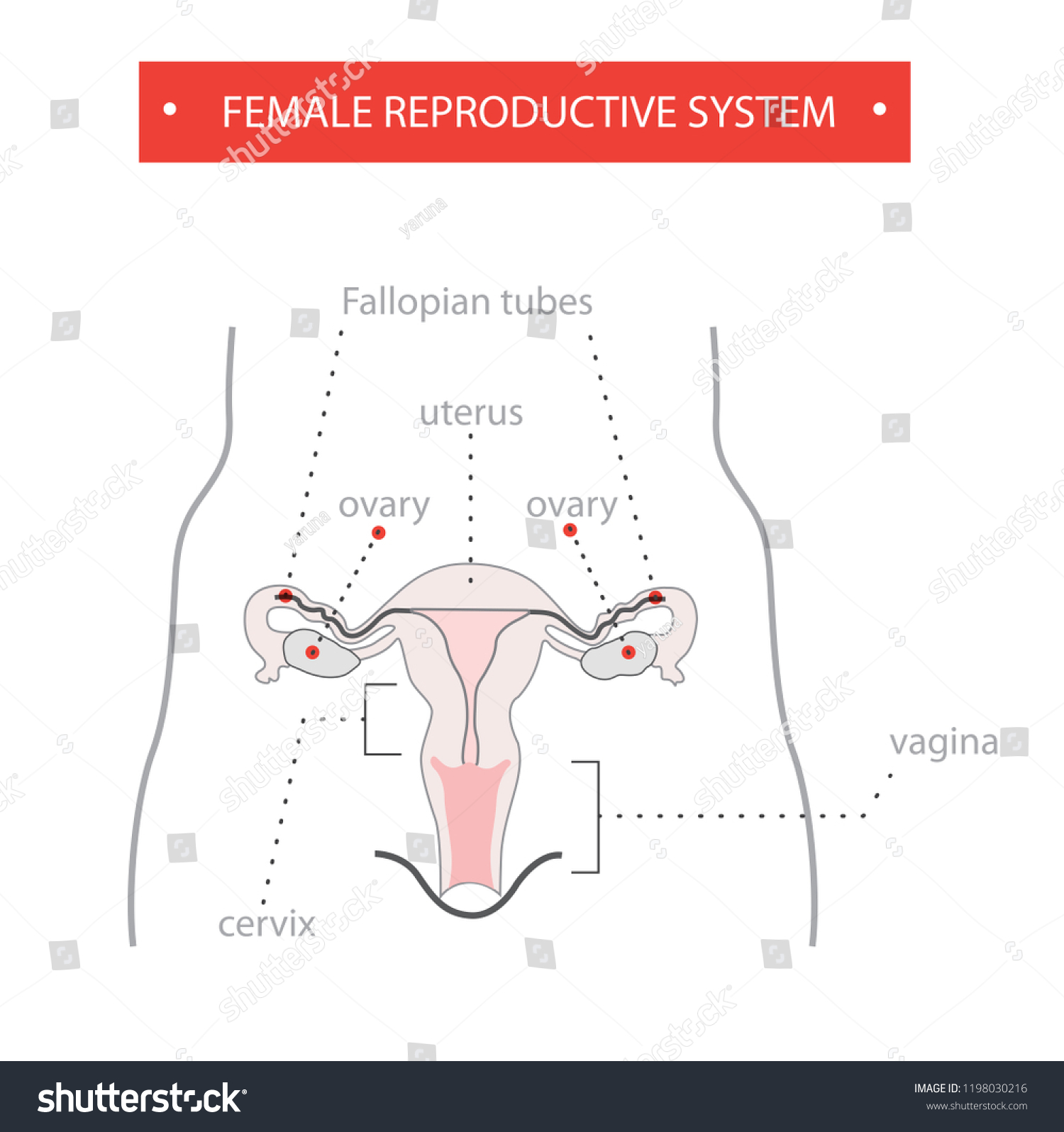 hight resolution of reproductive system female