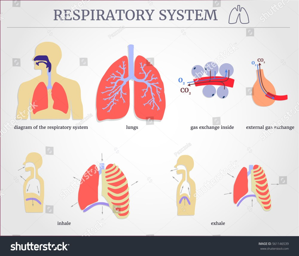 medium resolution of respiratory system diagram of the respiratory system with lungs inside gas exchange external