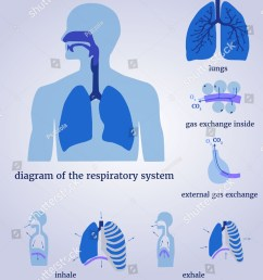 respiratory system diagram of the respiratory system with lungs inside gas exchange external [ 1136 x 1600 Pixel ]
