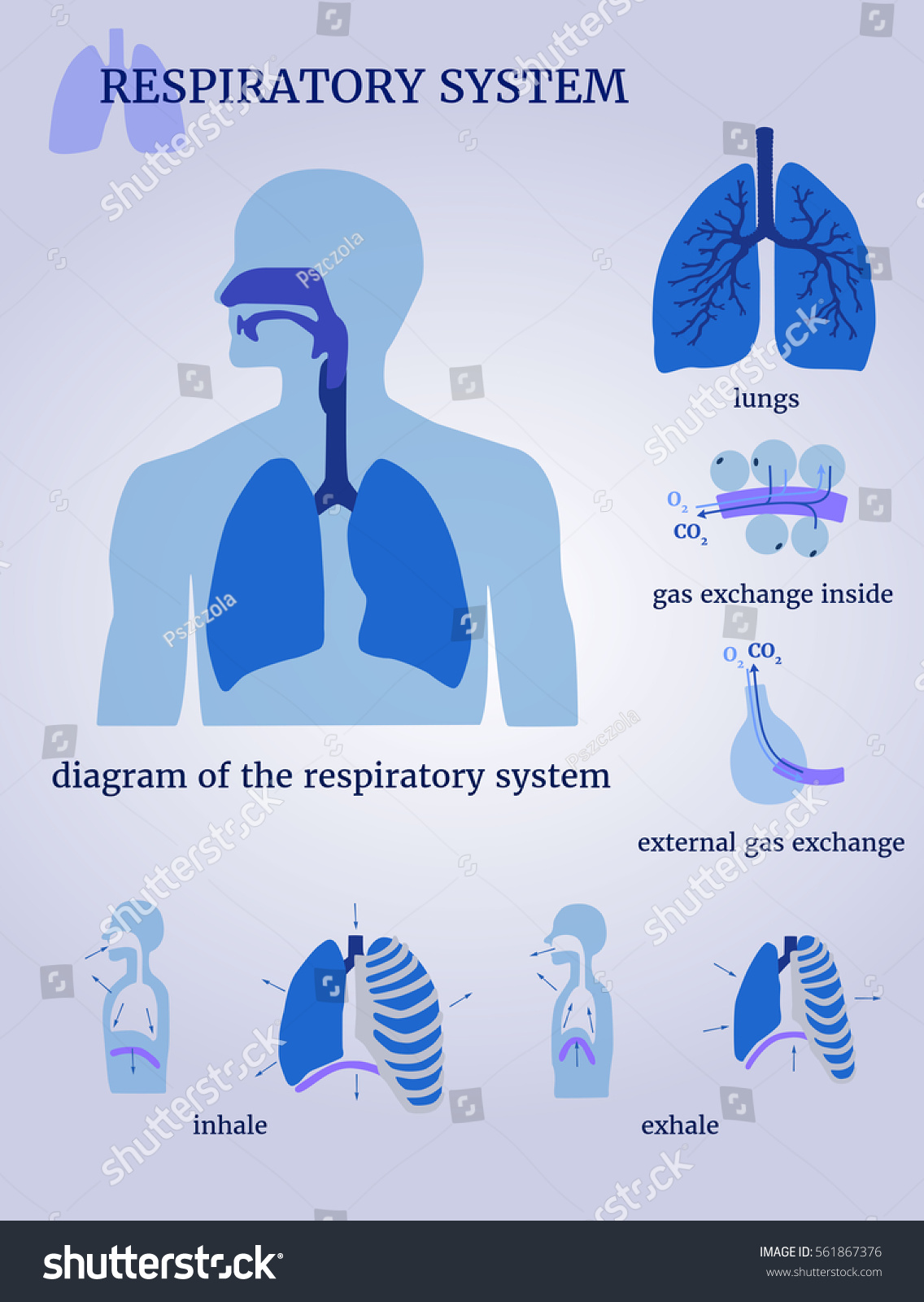 hight resolution of respiratory system diagram of the respiratory system with lungs inside gas exchange external