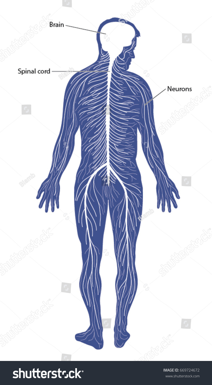 hight resolution of schematic diagram of the nervous system comprising of the brain spinal cord and peripheral