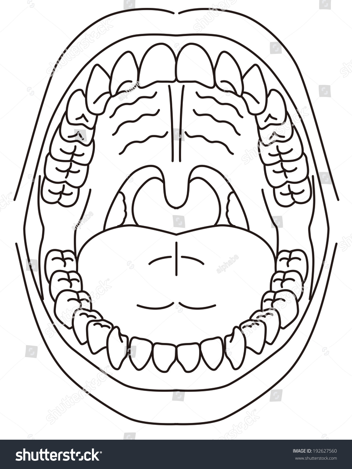 hight resolution of schematic diagram of the oral cavity