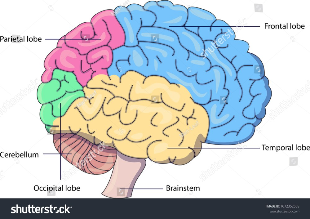 medium resolution of schematic vector diagram of a brain with labeled parts