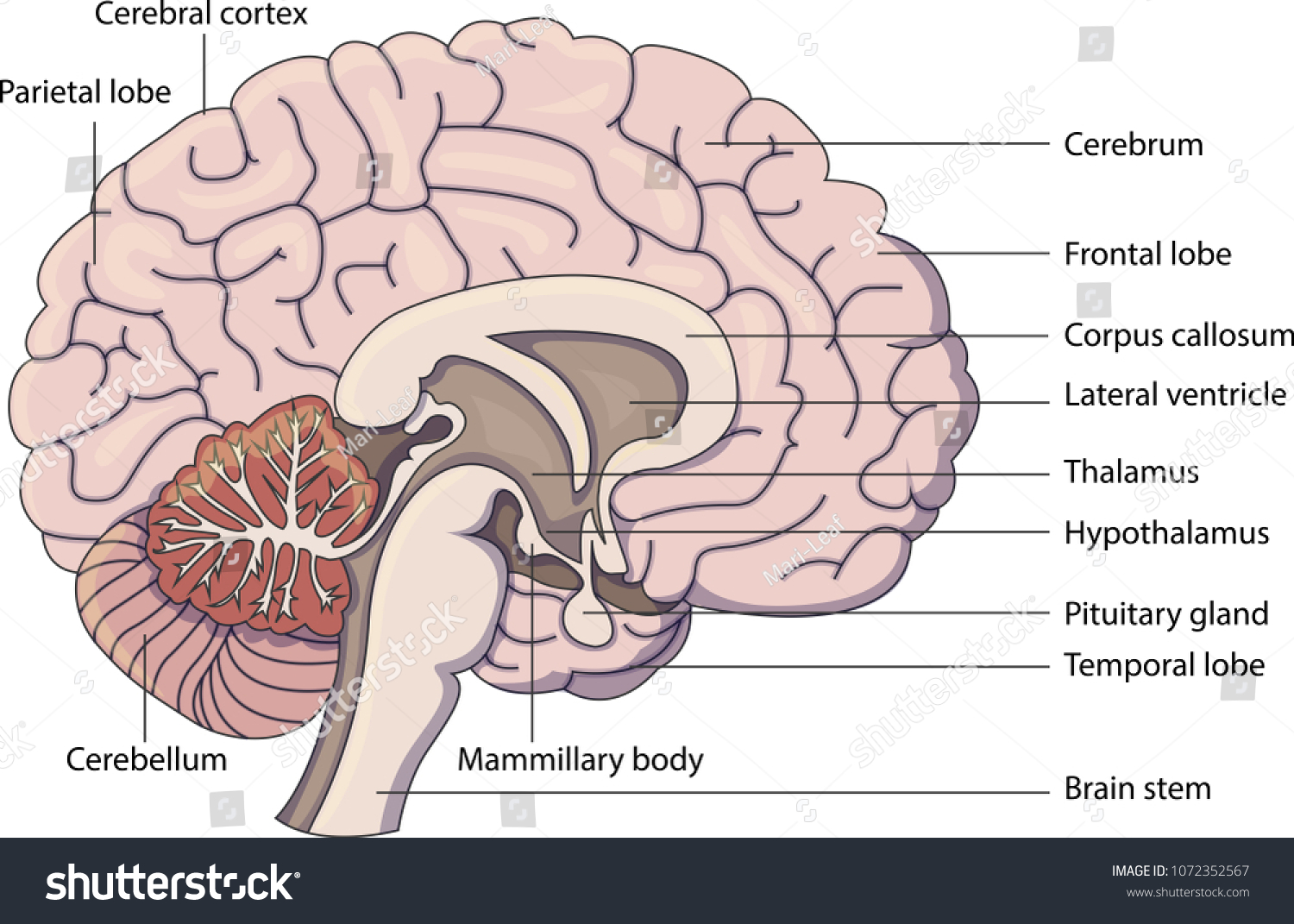 hight resolution of schematic vector diagram of a brain with labeled parts