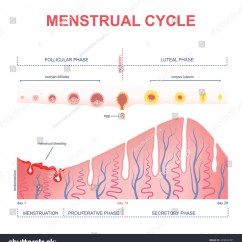 Menstrual Cycle Diagram With Ovulation 2001 Chevy Tahoe Radio Wiring Scheme Of The Level Hormones Female
