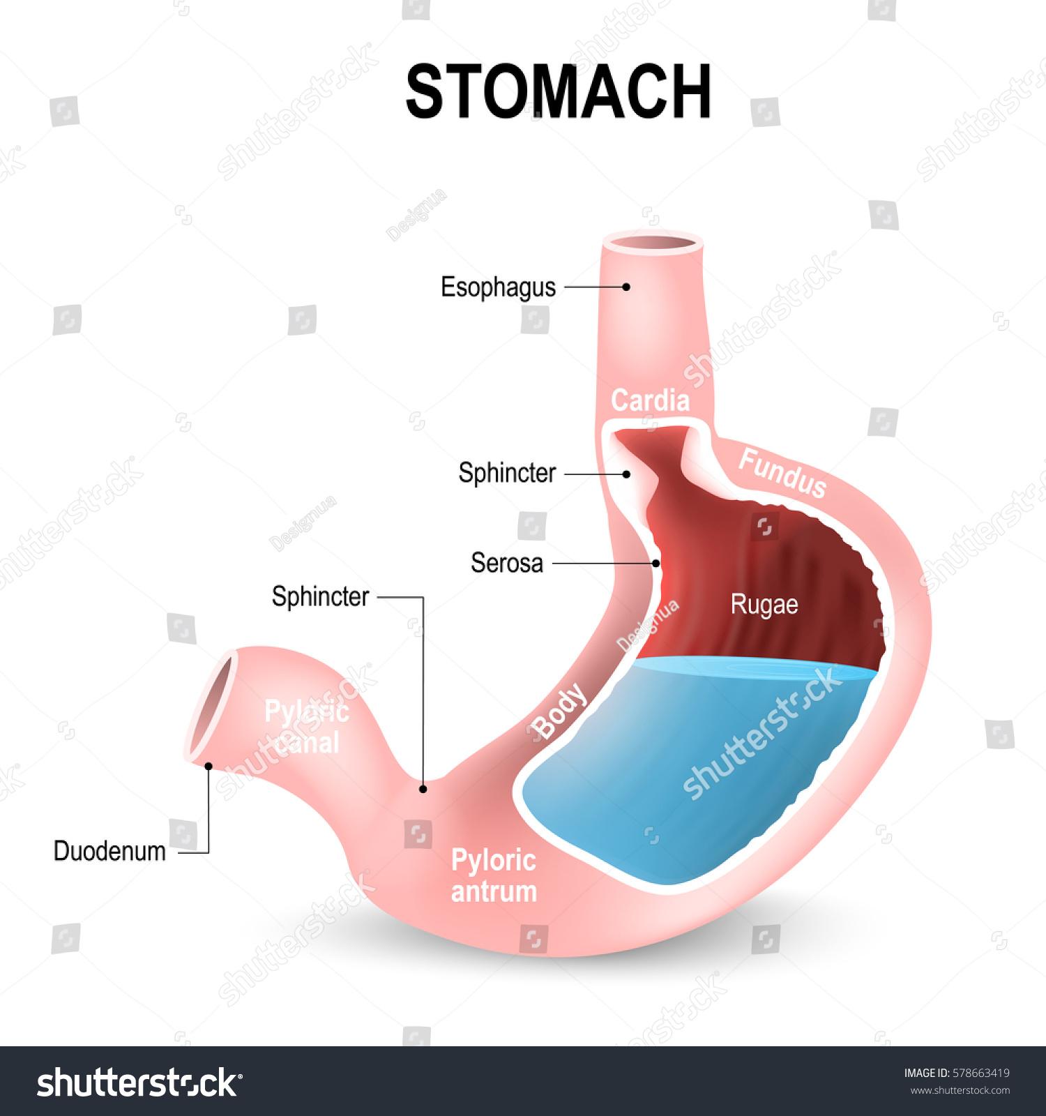 diagram of throat and esophagus vw beetle wiring 1969 fundus stomach digestion elsavadorla