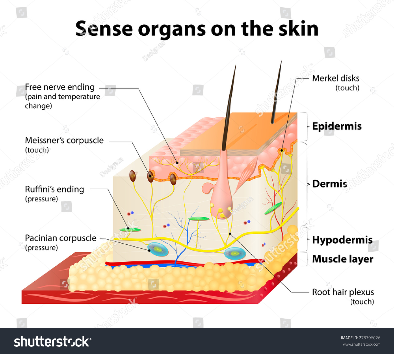 skin cross section diagram 2003 dodge ram infinity radio wiring sense organs on layers stock vector 278796026
