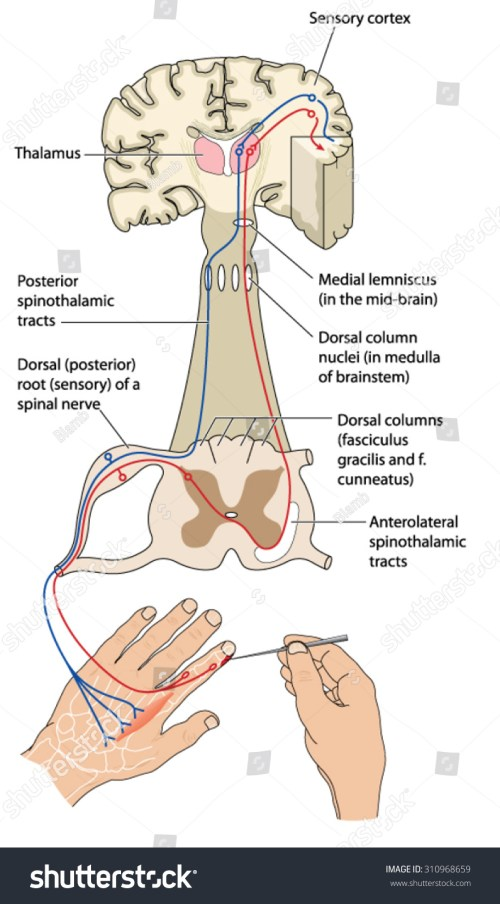 small resolution of sensory and motor nerve pathways from a stimulus to the sensory cortex and back to muscle