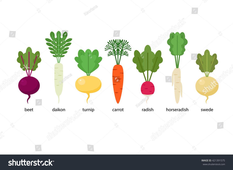Set Of Root Crops Daikon Horseradish Radish Beet Turnip Swede Carrot Stock Vector
