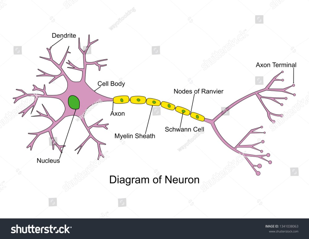 medium resolution of simple neuron diagram 2d labeled nerve cell