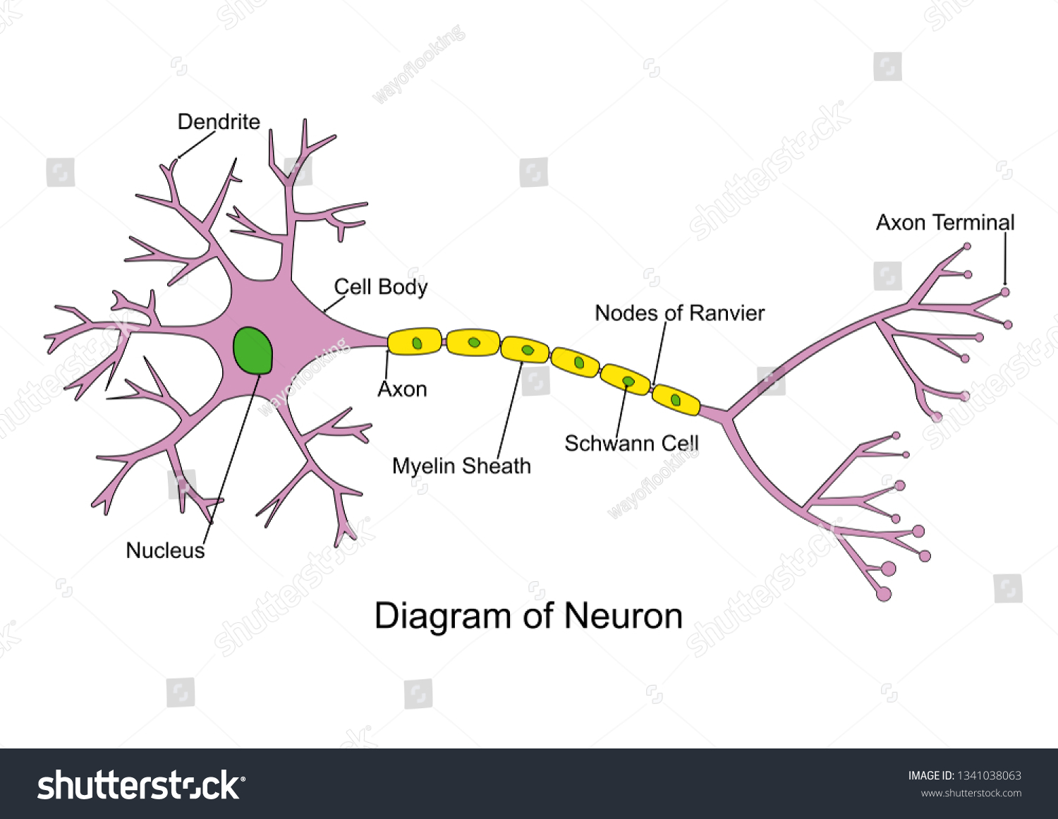 hight resolution of simple neuron diagram 2d labeled nerve cell