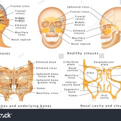 Diagram Of The Human Nose 1994 Ezgo Marathon Gas Wiring Sinuses Anatomy Sinus Stock Vector
