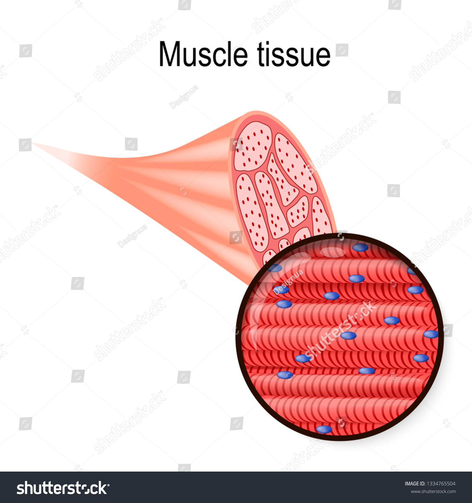 hight resolution of skeletal muscle tissue and fiber part of the biceps and close up of muscle fibers vector illustration for biological medical science and educational