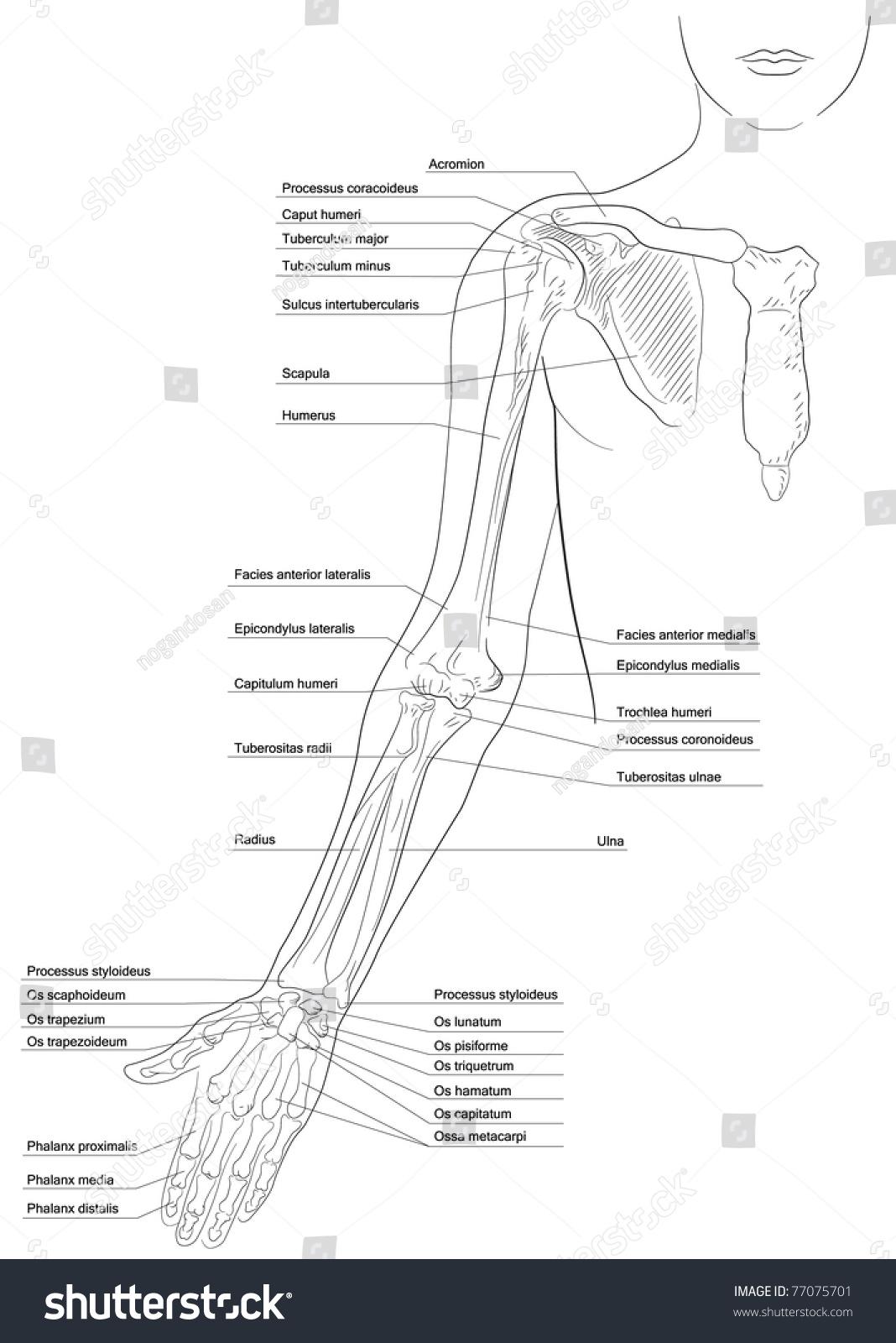 Skeleton System Appendicular Skeleton Pectoral Girdle
