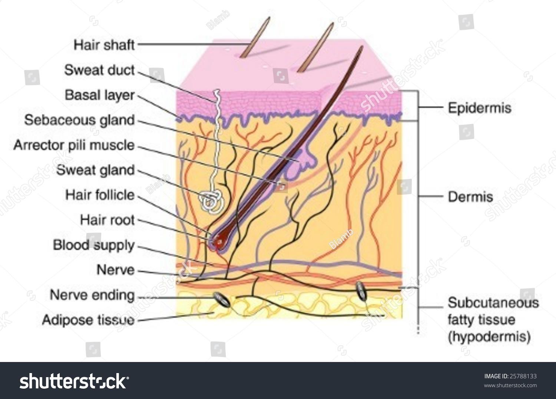 human skin diagram unlabeled danfoss room stat wiring labeled stock vector 25788133 shutterstock