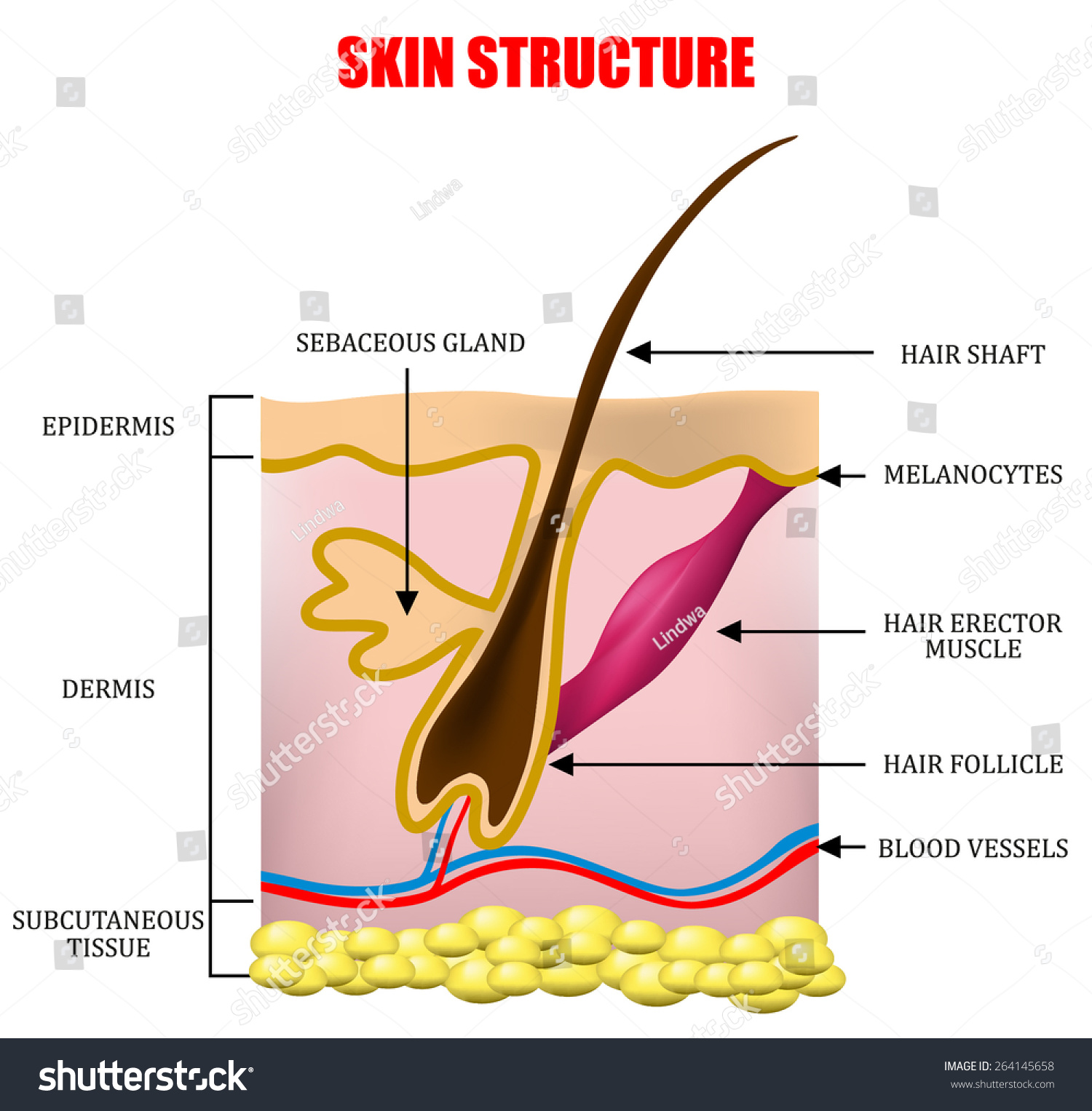 Skin Structure Stock Vector