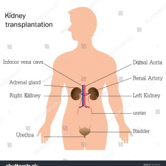 Urinary System Diagram And Functions 2000 Ford Explorer Engine Structure Function Of Anatomy Isolated