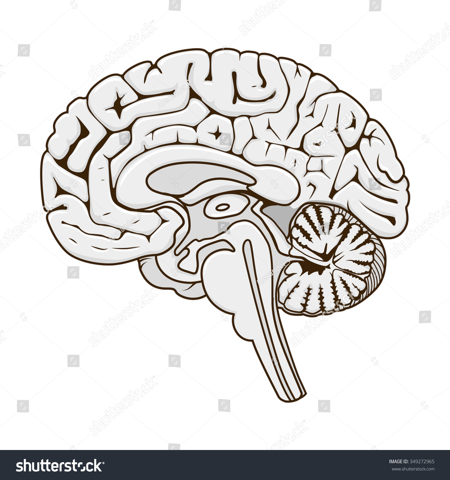 Structure Human Brain Section Schematic Vector Stock