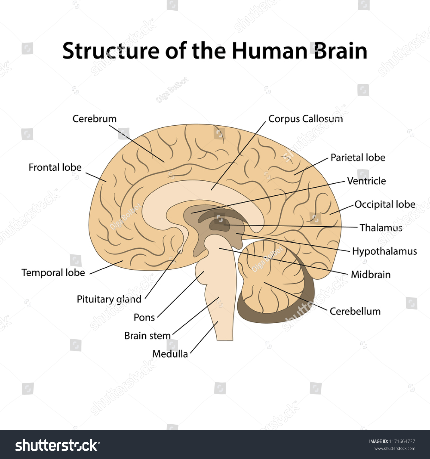 hight resolution of structure of the human brain with main parts labeled vector illustration