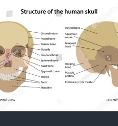 structure of the human skull with main parts labeled anterior view and lateral view  [ 1500 x 850 Pixel ]