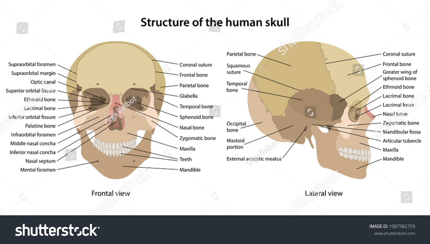 hight resolution of structure of the human skull with main parts labeled anterior view and lateral view