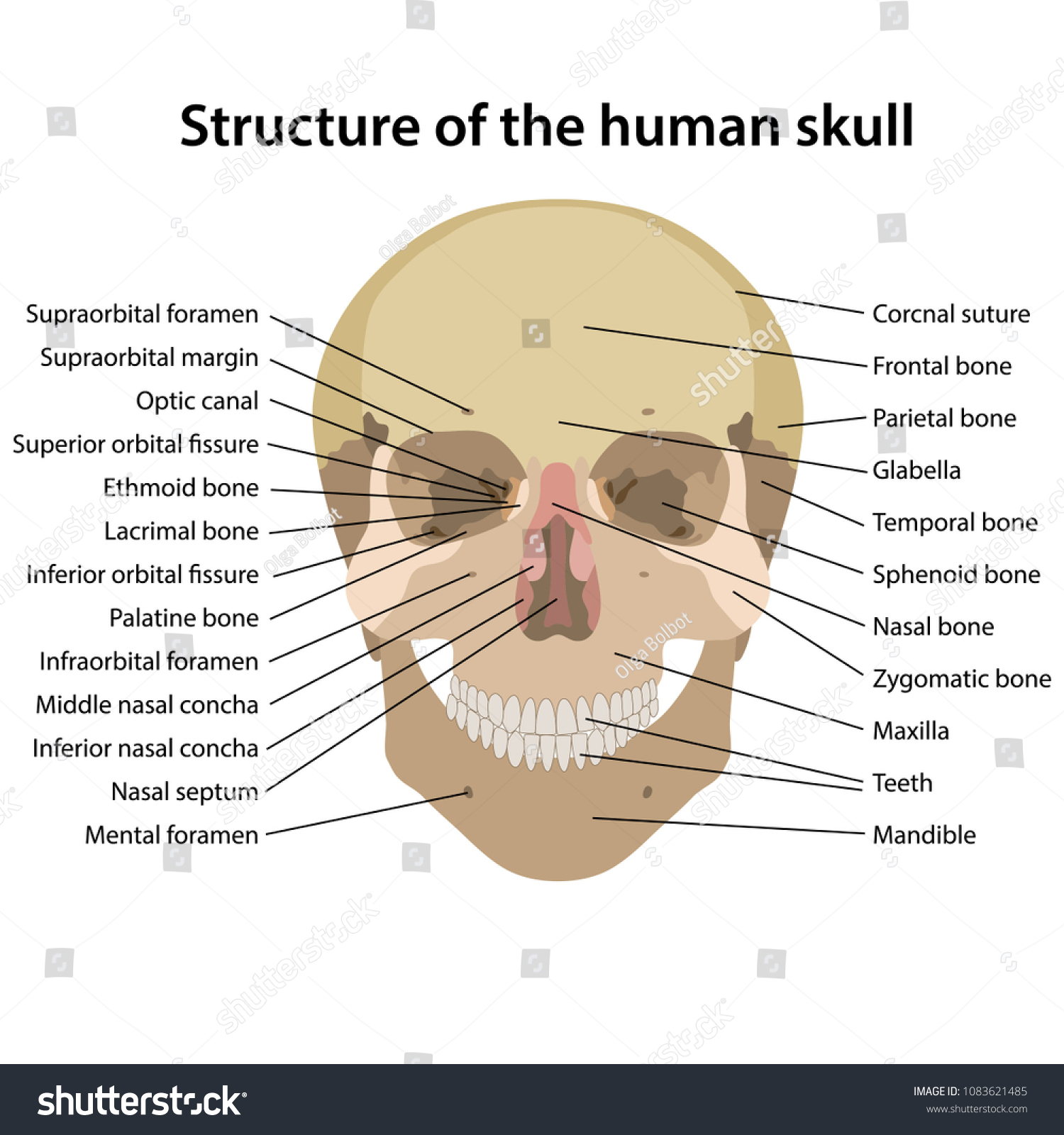 hight resolution of structure of the human skull with main parts labeled vector illustration