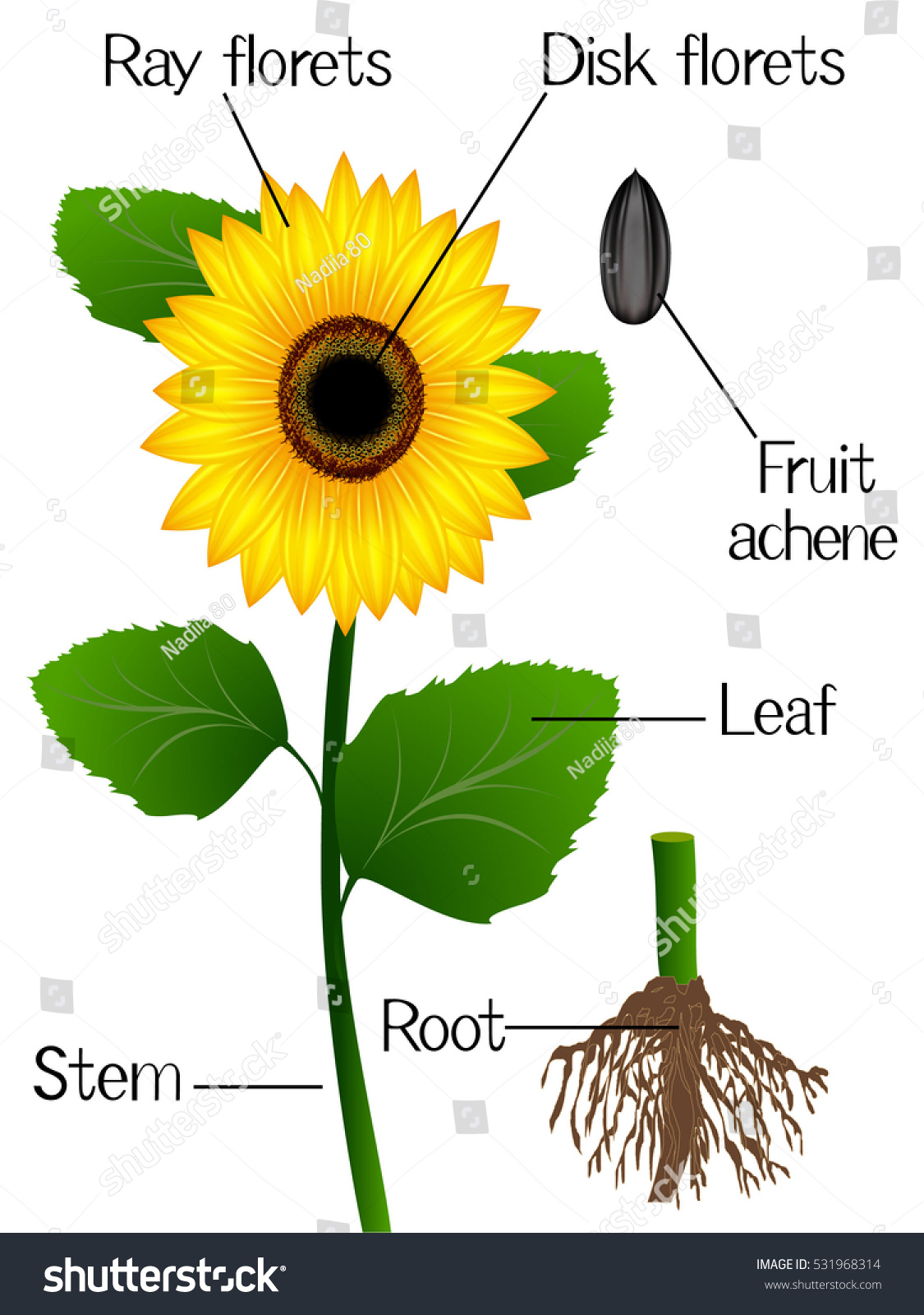 Sunflower Diagram : sunflower, diagram, Structure, Sunflower, Stock, Vector, (Royalty, Free), 531968314
