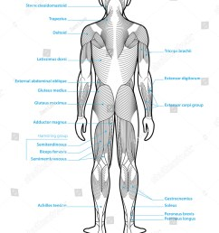 stylized anatomy diagram showing major muscle groups shown from the back posterior view with labels  [ 1157 x 1600 Pixel ]