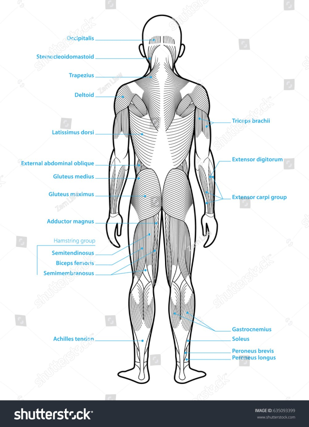 medium resolution of stylized anatomy diagram showing major muscle groups shown from the back posterior view with labels
