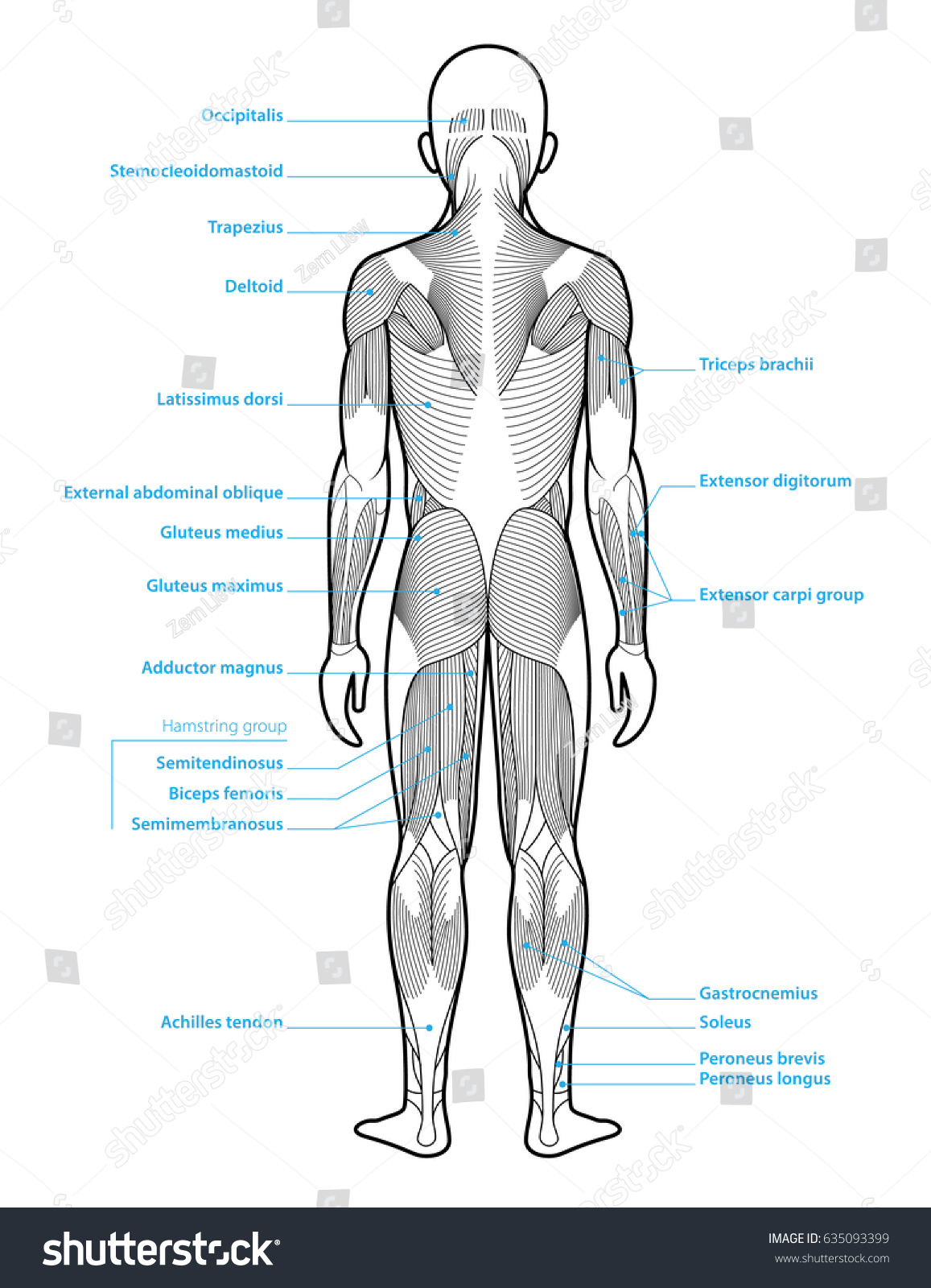 hight resolution of stylized anatomy diagram showing major muscle groups shown from the back posterior view with labels