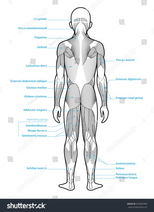 small resolution of stylized anatomy diagram showing major muscle groups shown from the back posterior view with labels