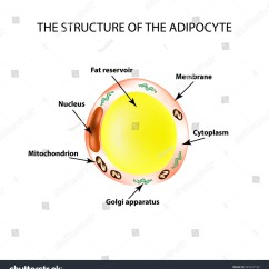 White Fat Cell Diagram 5 7 Vortec Valve Job Anatomical Structure Cells Adipocyte Infographics