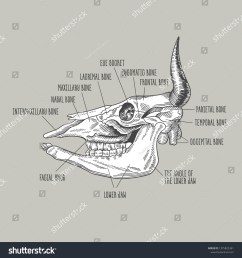 the cow skull an image of a cow skull  [ 1500 x 1600 Pixel ]