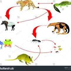 Alligator Food Chain Diagram Schematic Visio Template Dolphin