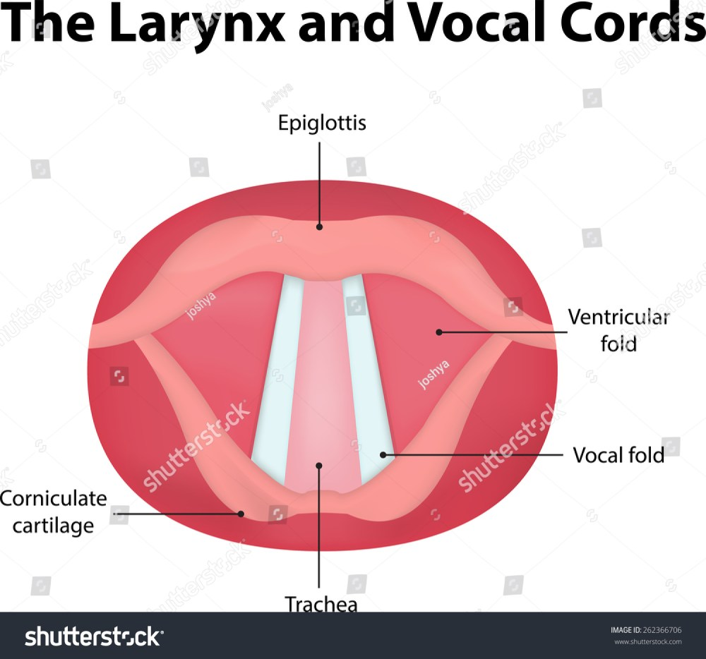 medium resolution of larynx vocal cord labeled diagram stock vector royalty free posterior view of vocal folds vocal folds diagram