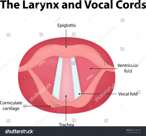 small resolution of larynx vocal cord labeled diagram stock vector royalty free posterior view of vocal folds vocal folds diagram